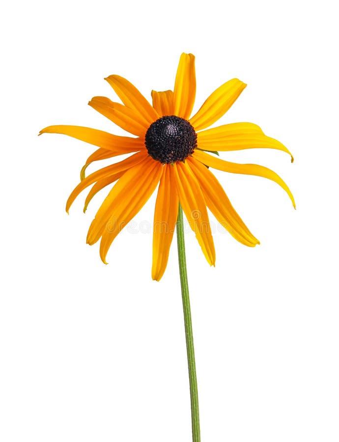 Enkel sammansatt blomma av en Rudbeckia som isoleras på vit fotografering för bildbyråer