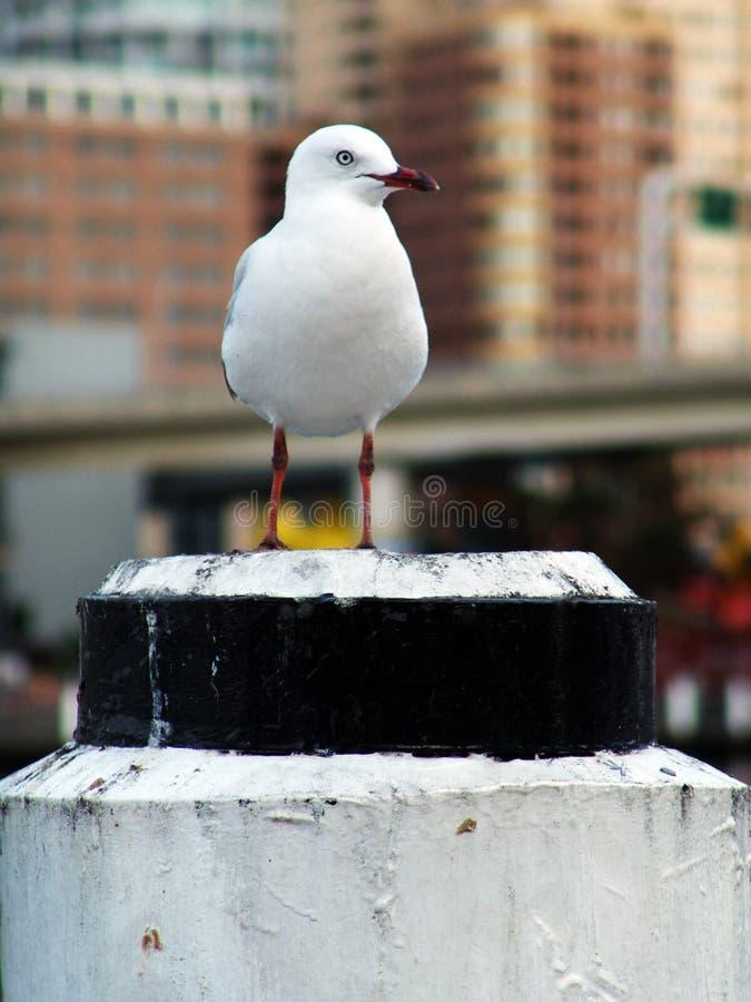 Enkel seagull på en pelare som söker efter mat royaltyfri fotografi
