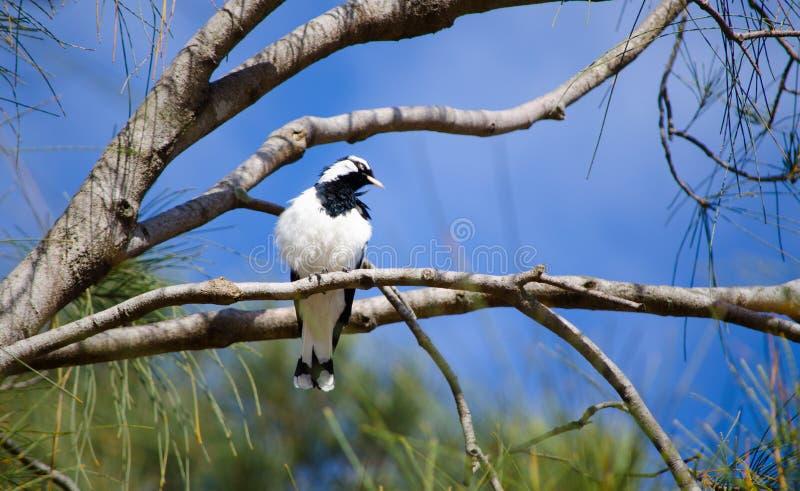 Enkel Skata-lärka fågel på en filial av trädet på en skog i Australien royaltyfria bilder