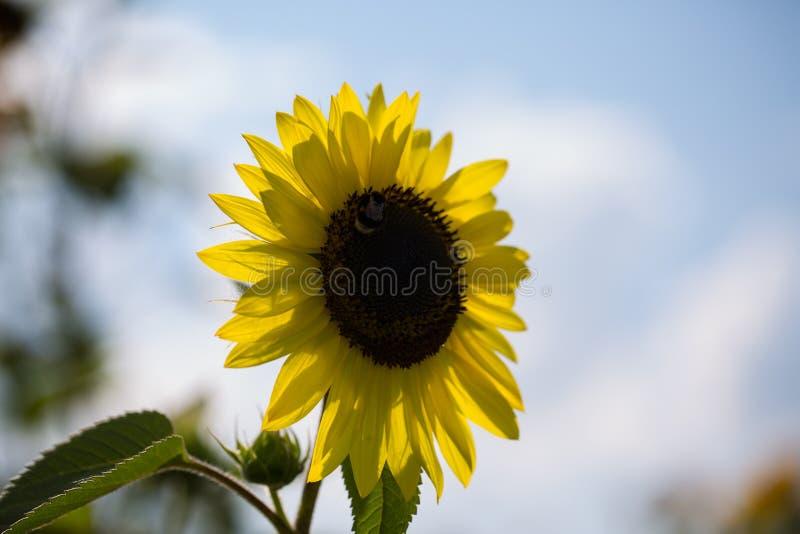 Enkel solros, bakbelyst fotografering för bildbyråer