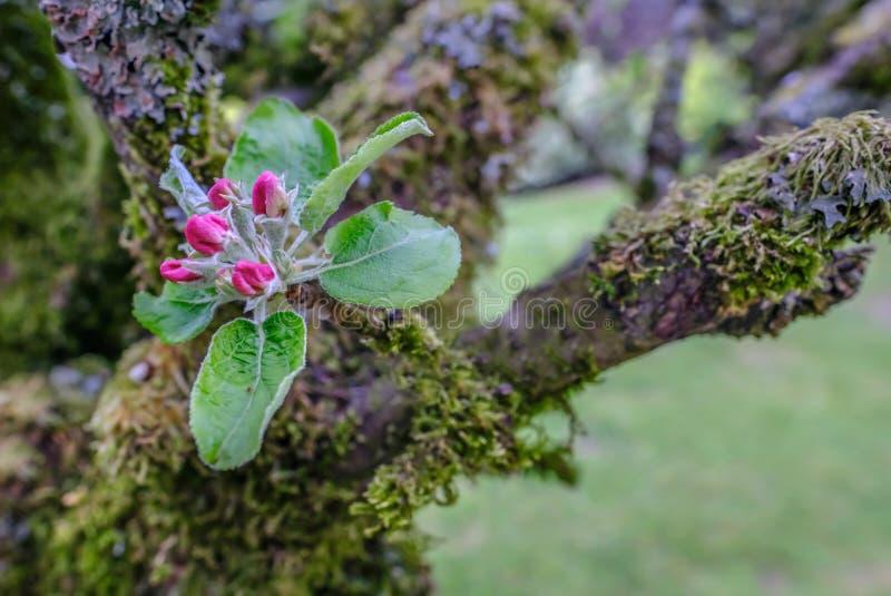 Enkel sprej av äppleblomningen, rosa knoppar med nya gröna sidor arkivfoto