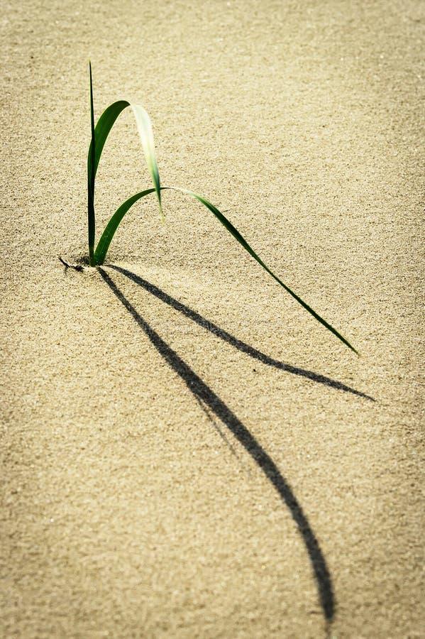 Enkel stjälk av arenariusen för Leymus för strandgräs- eller sandryegrass som växer på dyn på den baltiska kusten royaltyfri bild