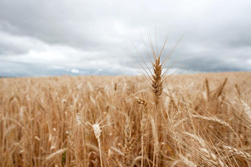 Enkel stjälk av vete som klibbar ut ur en wheatfield arkivbilder