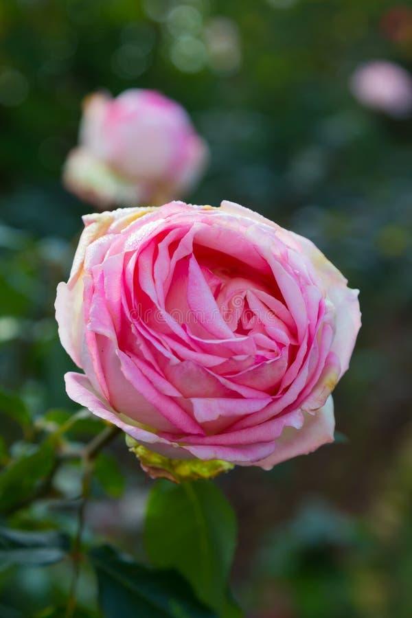 Enkel stor rosa färgros som isoleras på trädgårds- vertikal bakgrund fotografering för bildbyråer