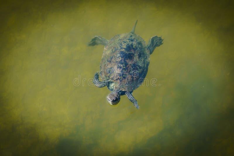 Enkel sumpsköldpaddasimning royaltyfria bilder