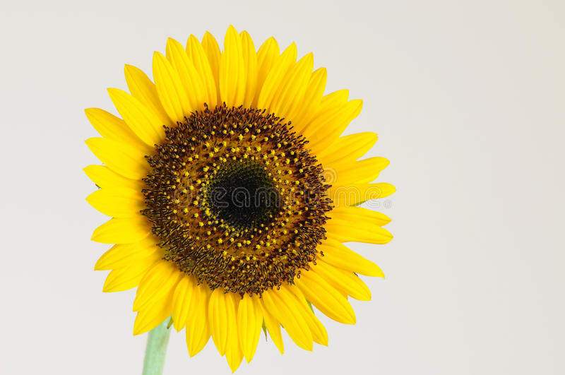enkel sun för blomma royaltyfri fotografi