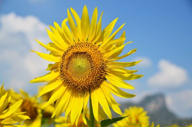enkel sun för blomma arkivbilder