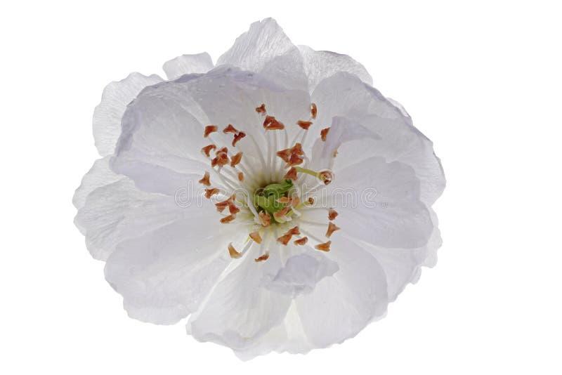 Enkel sur körsbärsröd blomning royaltyfri fotografi
