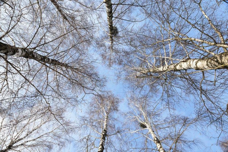 enkel tree för björk royaltyfri bild