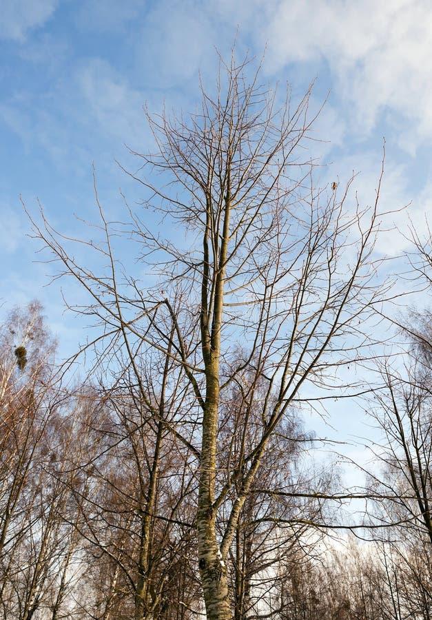 enkel tree för björk fotografering för bildbyråer