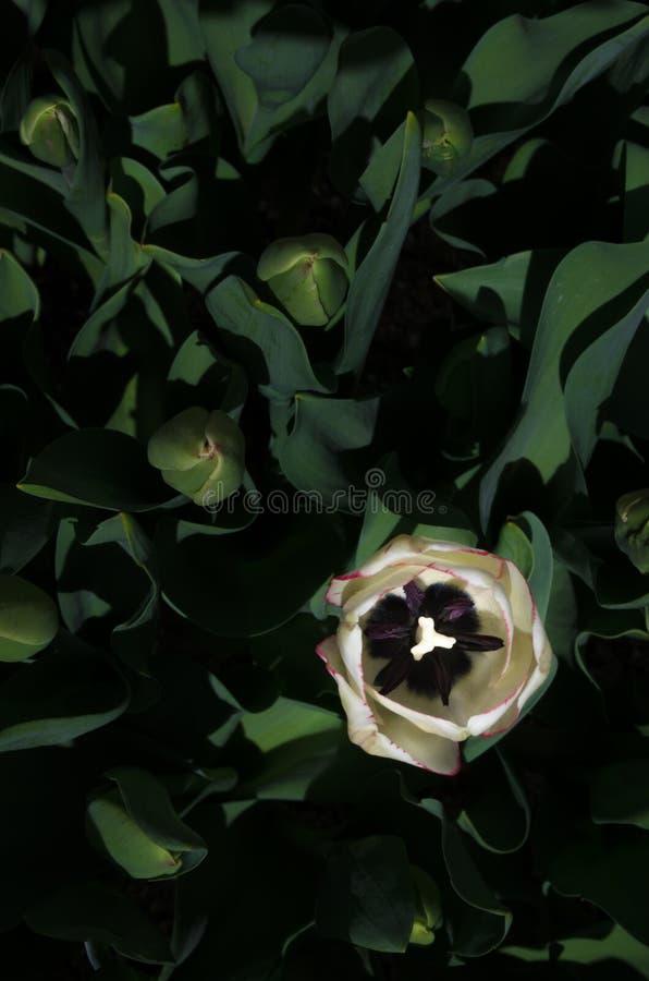 Enkel tulpan i en grön säng royaltyfri foto