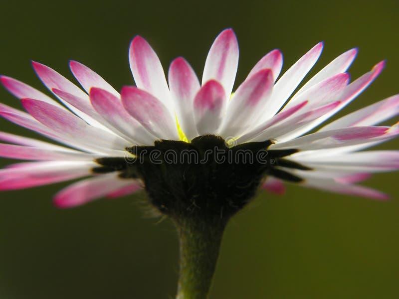 Download Enkel tusensköna arkivfoto. Bild av petal, bifokal, skarpt - 512424