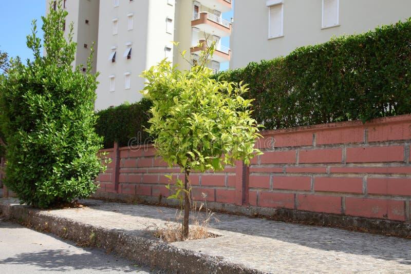 Enkel ung citrusträd som växer nära stadsstenväggen arkivbild