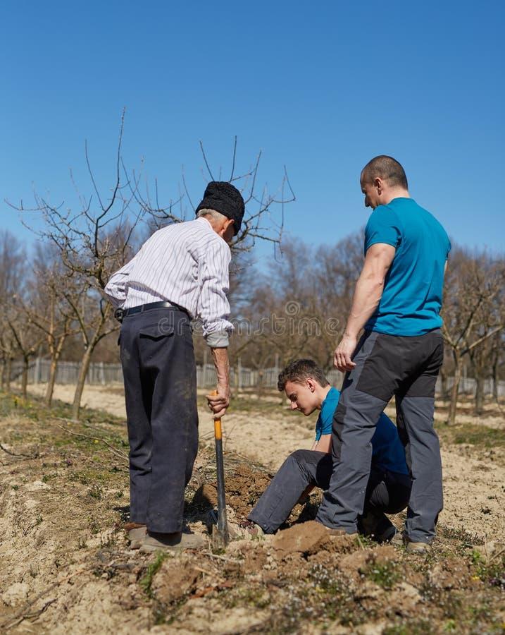 Enkel, Vater und Großvater, die einen Pflaumenbaum in einem orch pflanzen stockfotografie
