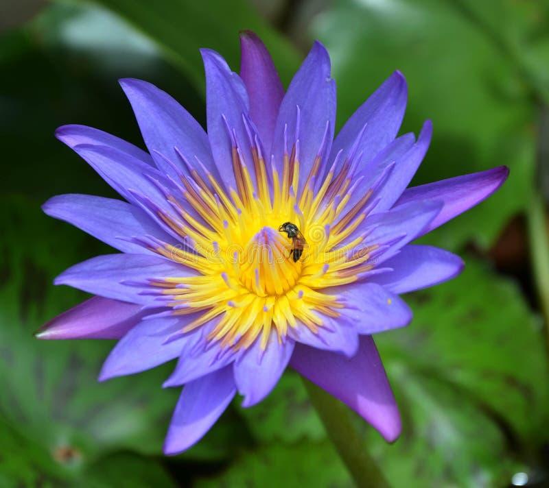 Enkel violett lotusblomma och litet bi arkivbilder