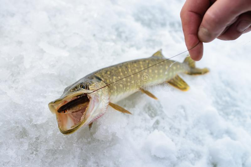 Enkel vissen de gevangen Snoeken met klein aas in zijn mond, de ijswinter visserij royalty-vrije stock afbeeldingen