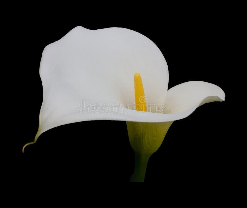 Enkel vit Calla Lilly på en kolsvart bakgrund royaltyfria bilder