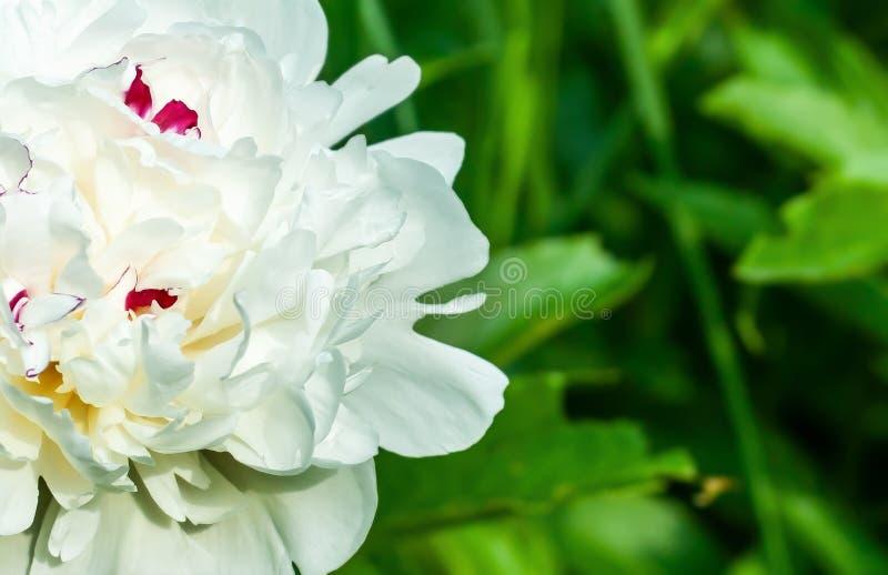 Enkel vit stor pionblommacloseup på oskarp grön trädgårdbakgrund med placeholder, mjölka-som blomman, skumblomma royaltyfria bilder