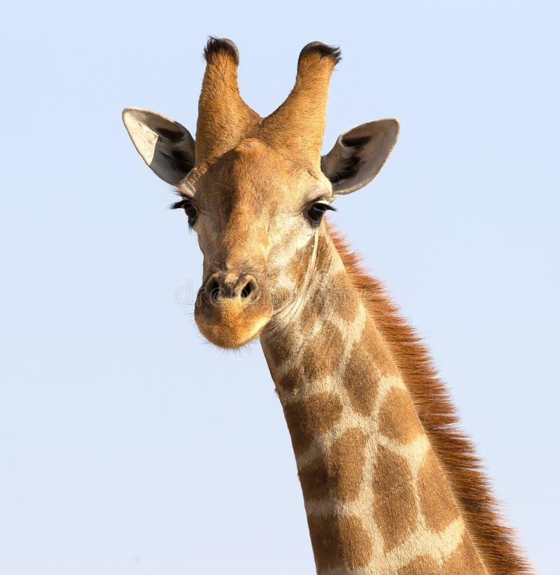 Enkel vuxen giraff i Kalaharien arkivbild
