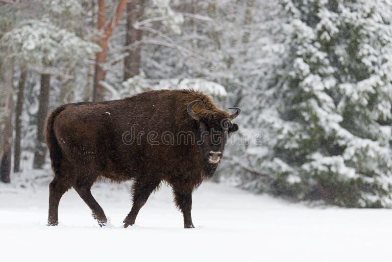 Enkel vuxen lös europébrunt Bison Bison Bonasus On Snowy Field på Forest Background Europeiskt djurlivlandskap med Sno fotografering för bildbyråer