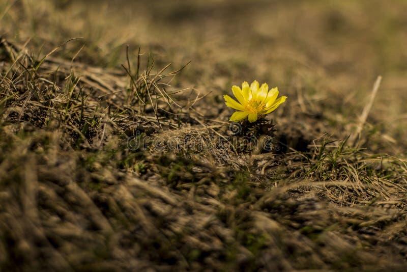 enkel yellow för blomma royaltyfria foton