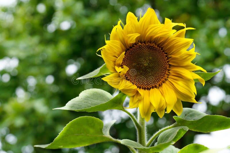 Enkelbloem van een zonnebloem op een achtergrond van bladblauw royalty-vrije stock afbeelding