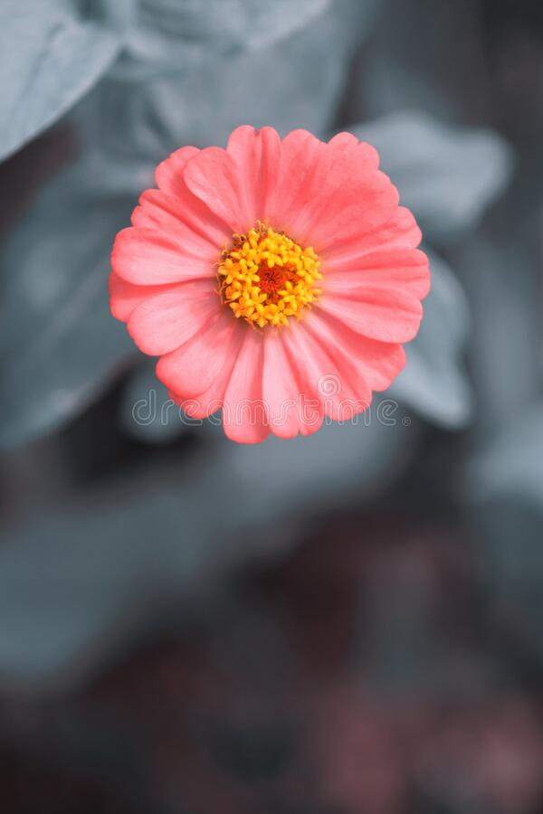 Enkele roze Zinnia Flower Grey Background stock foto