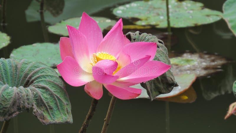 Enkelroze lotusbloem na regen stock afbeeldingen