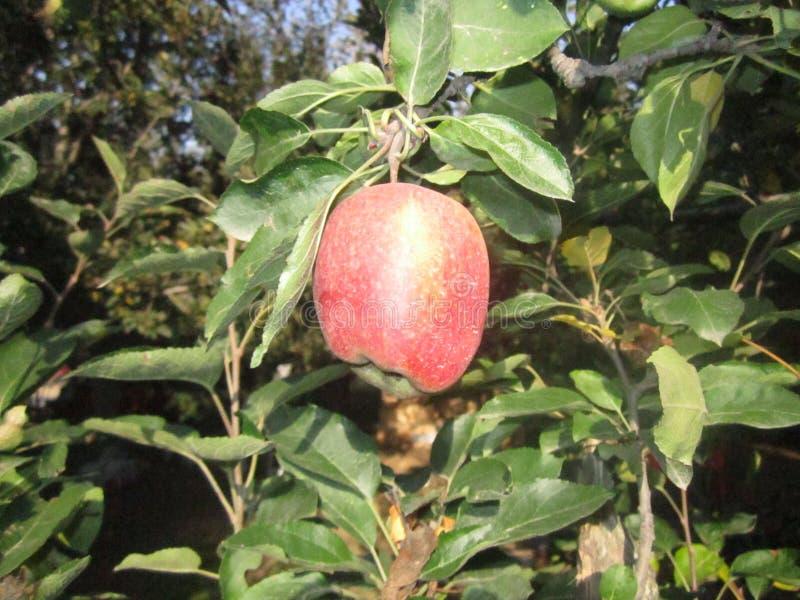 enkelt äpple royaltyfri fotografi