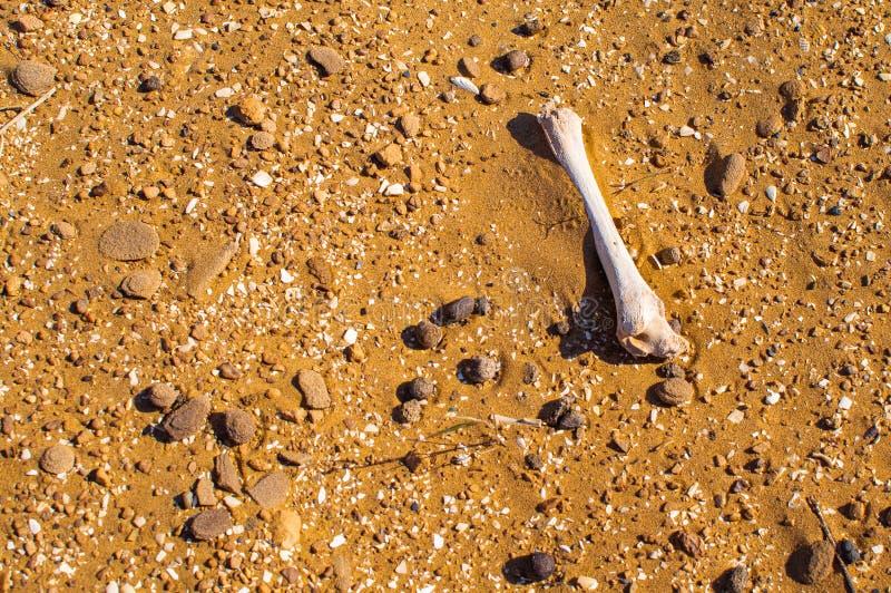 Enkelt ben i öknen Död i ofruktbara marker i varm dag arkivfoton