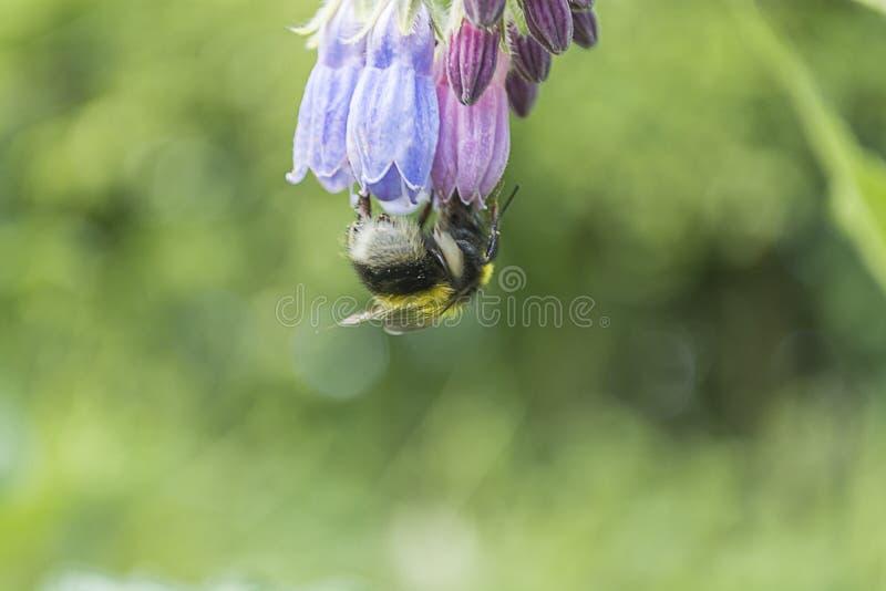Enkelt bi på blomman som är uppochnervänd arkivbild