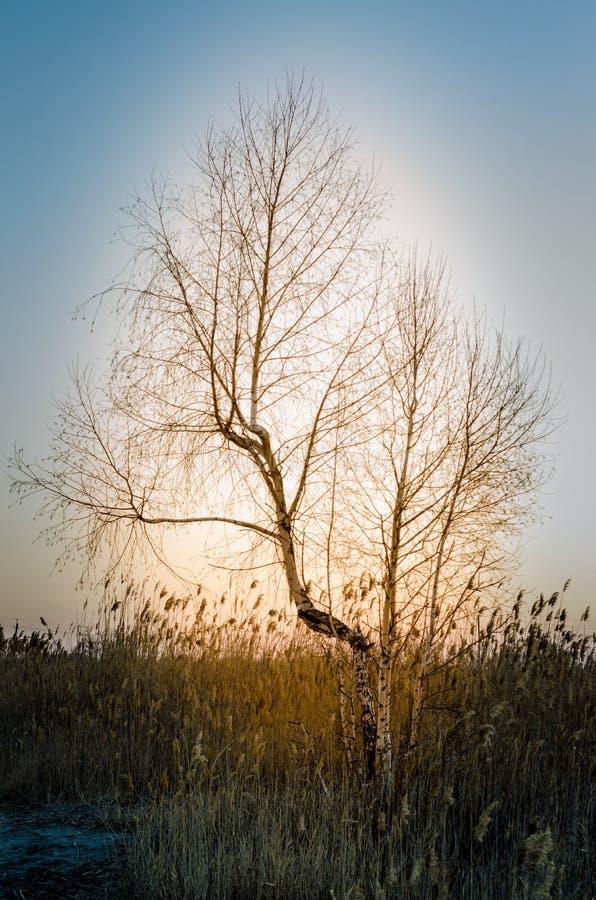 Enkelt björkträd som växer i högväxta gräs - en aftonsikt royaltyfria foton