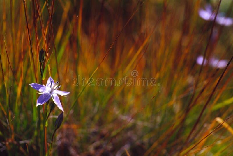 enkelt blommagräs royaltyfri fotografi