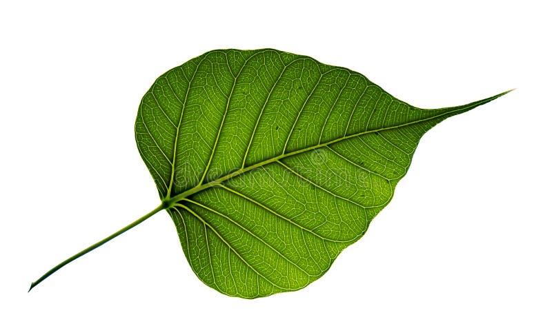 Enkelt bodhiträdblad som isoleras på vit bakgrund arkivbilder