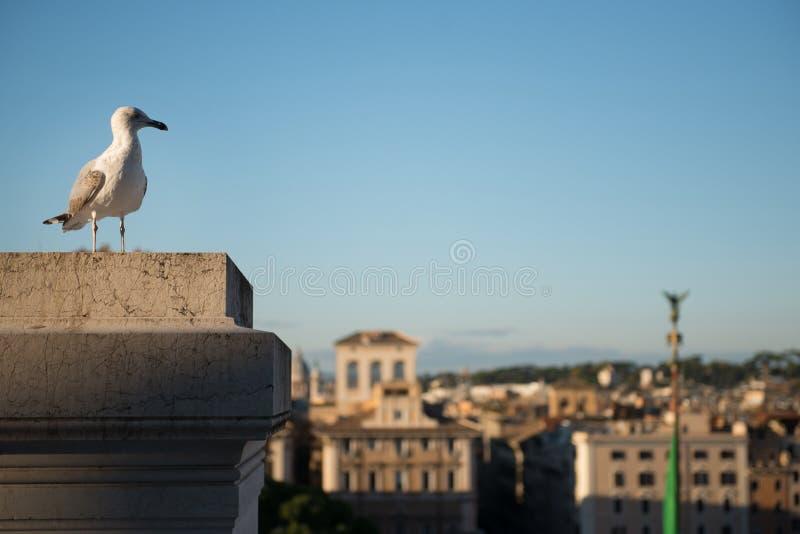 Enkelt fiskmåsanseende på en byggnad i Rome arkivfoto