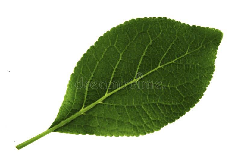 Enkelt grönt blad av plommonet som isoleras på vit bakgrund, nedersta sida av bladet royaltyfri fotografi