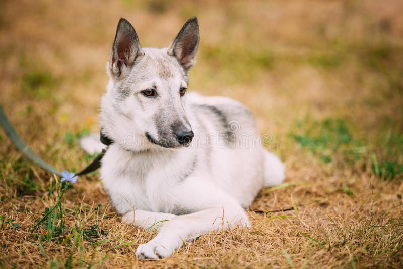 Enkelt härligt ungt sammanträde för hund för ryssLaika valp på torr gr royaltyfria bilder