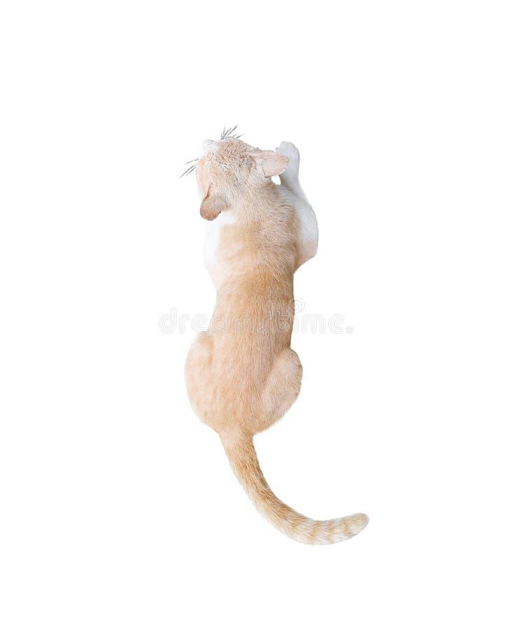 Enkelt huvud, kroppbaksida och lång svans av den bästa sikten för brun asiatisk katt som isoleras på vit bakgrund med urklippbana arkivbild