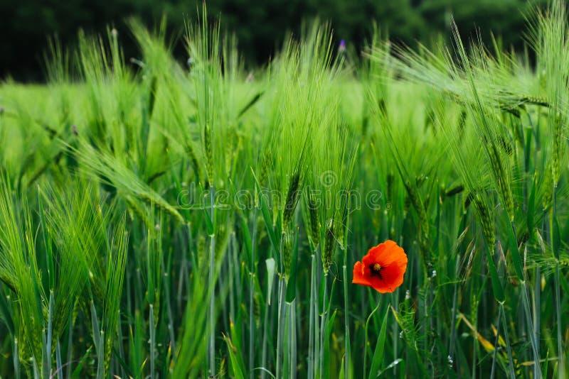 Enkelt isolerat ensamt rött växa för lös blomma för vallmo bland fält för gröna skördar arkivbild