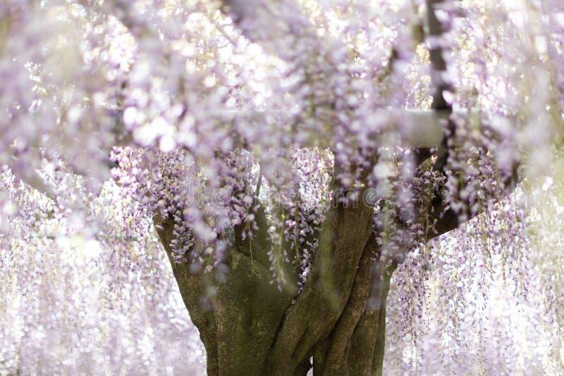 Enkelt Japan Wysteria floribundaträd på Wisteriaträdgården royaltyfri foto