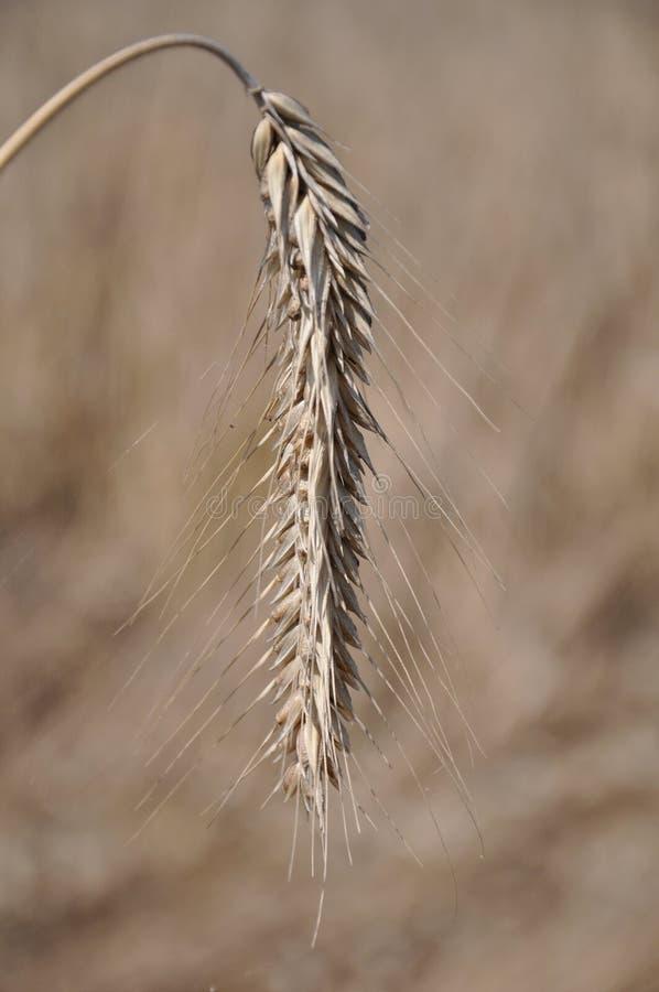 enkelt kornöra arkivfoto