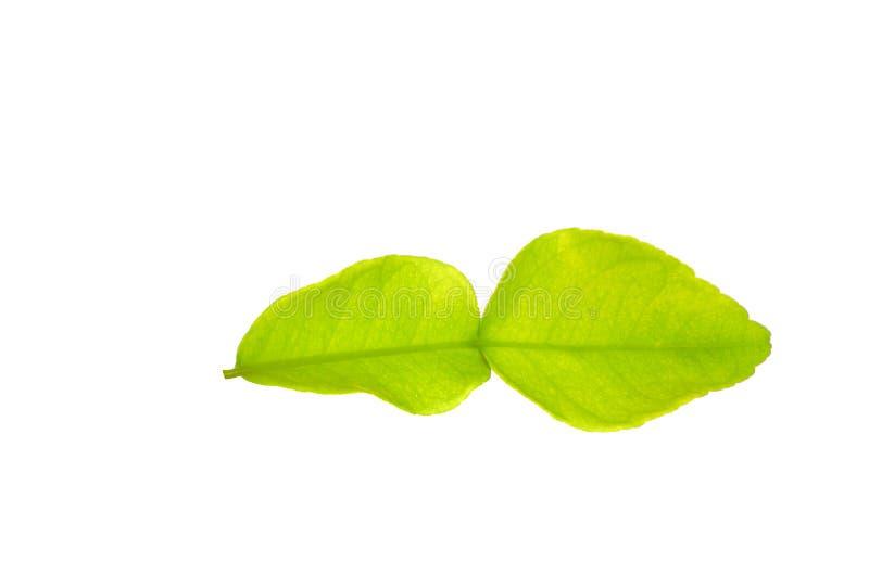 Enkelt ljus - citrus hystrix för grönt Kaffirlimefruktblad som isoleras på vit bakgrund fotografering för bildbyråer