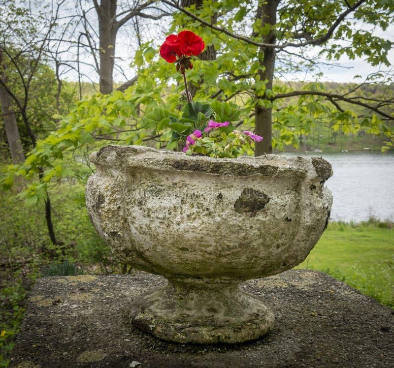 Enkelt rött Geranium i en gammal Cement Urn arkivbilder