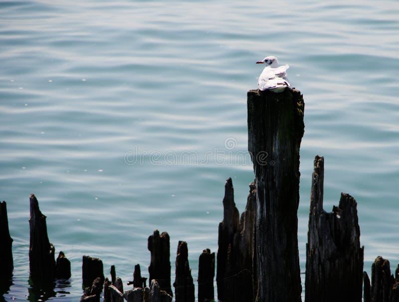 Enkelt seagullsammanträde på den red ut trästolpen i sjön arkivbilder