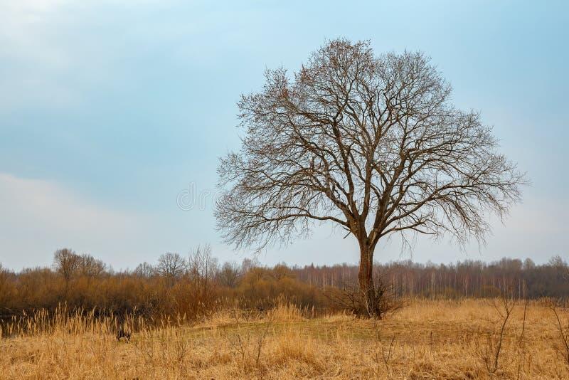 Enkelt stort träd utan sidor royaltyfri fotografi