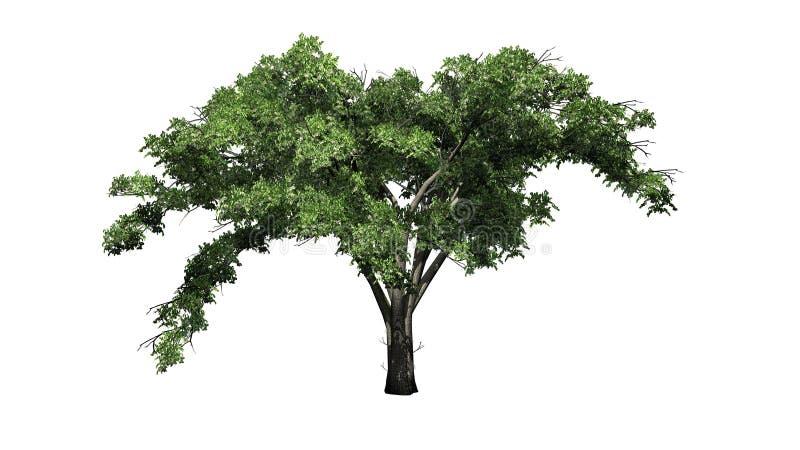 Enkelt träd för amerikansk alm royaltyfri illustrationer