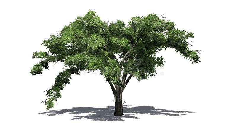 Enkelt träd för amerikansk alm med skugga på golvet stock illustrationer