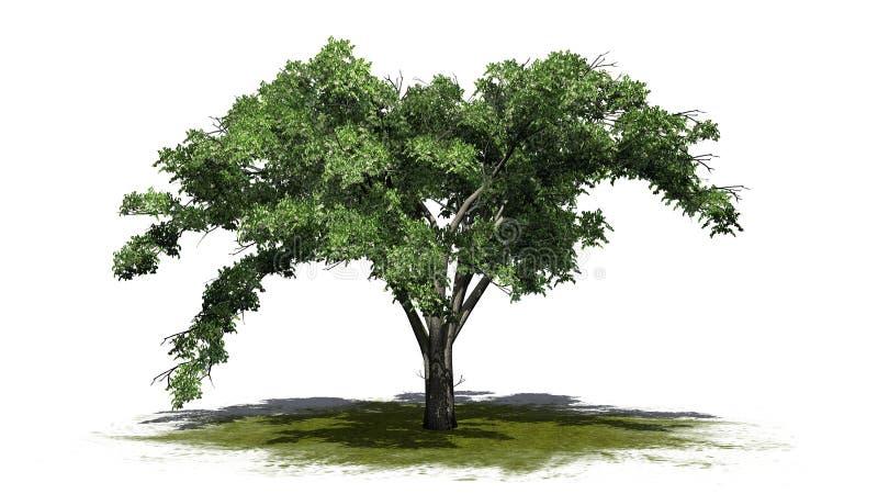 Enkelt träd för amerikansk alm på en grönområde royaltyfri illustrationer