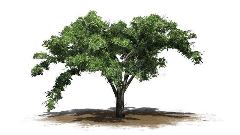 Enkelt träd för amerikansk alm på ett sandområde vektor illustrationer