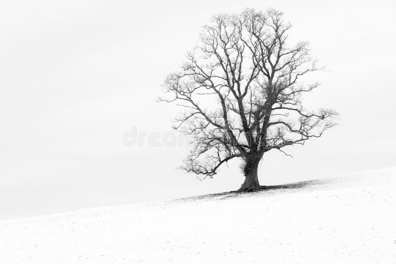 Enkelt träd i ett snövitt engelskalandskap royaltyfri fotografi